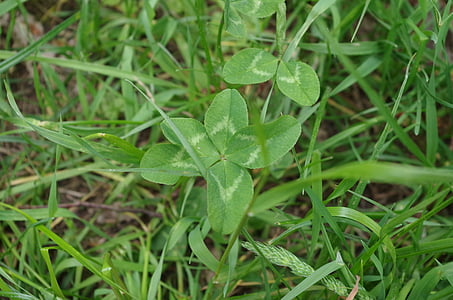 Four leaf apila, vierblättrig, onnea