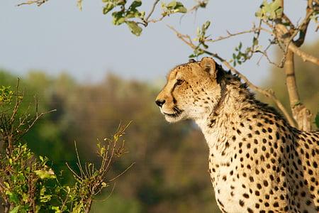 africa, cheetah, leopard, predator, safari, tiger, wilderness