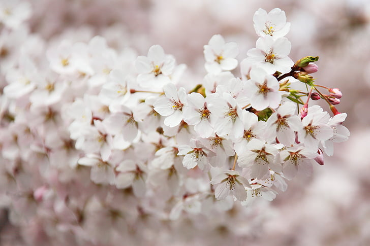 selective, focus, photo, white, cherry, blossoms, flower