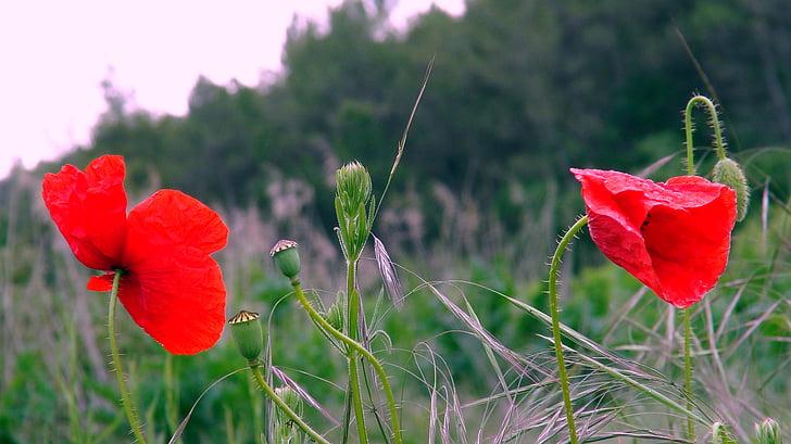 poppies, flowers, wild flowers, red, nature, poppy flower