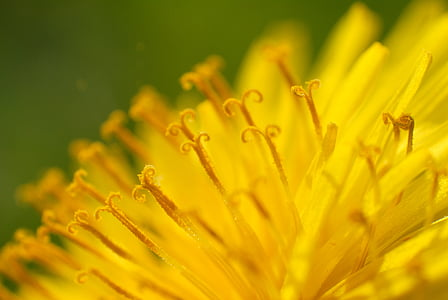 Púpava, peľ, kvet, kvet, žltá, makro, letné