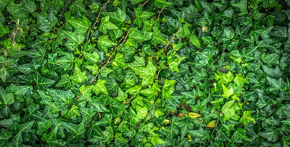 ivy, vine, the leaves, plants, hwalyeob, nature, green