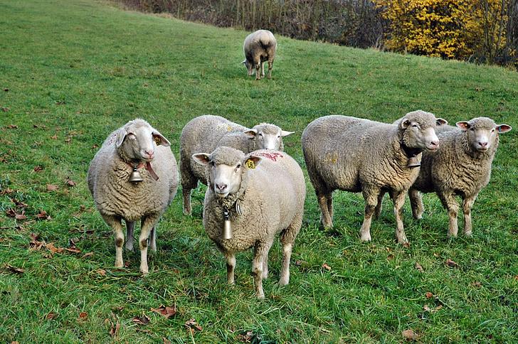 ovelles, ramat d'ovelles, les pastures