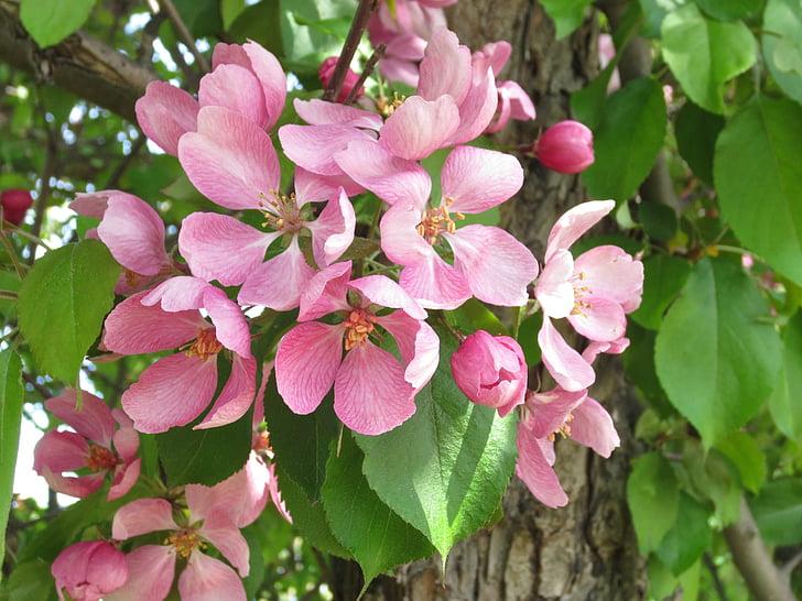 Sommer, Park, Blume, Baum, Rosa, Geruch, Apfelbaum