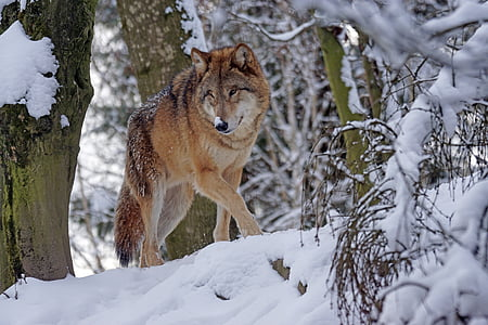 llop, mongol, llop mongol, Predator, neu, fotografia de la natura, perillós
