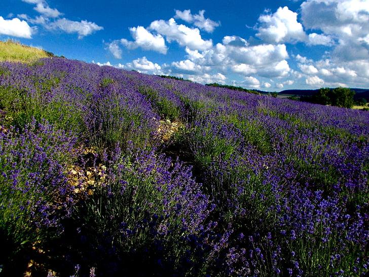 Levanda, levandų laukas, Lavandula angustifolia, levandų kalvos, Lipės provence, levandų gėlės, violetinė