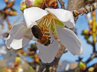 abella, flors d'ametller, Libar