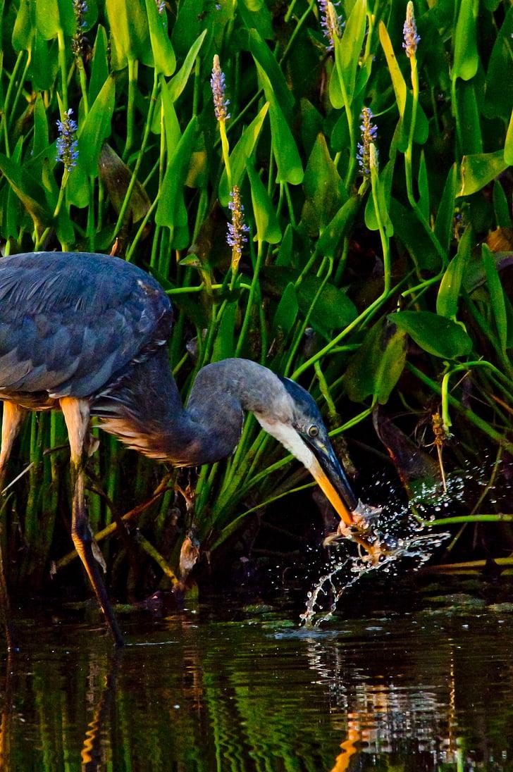 Reiher, waten Vogel, Vogel, Vögel füttern, waten, Blue heron, Vogelgrippe