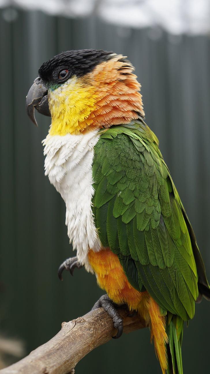 папагал, птица, животните, Зоологическа градина, природата, едно животно, животните дивата природа