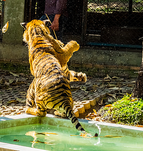 tiger, cat, tame, tiger zoo, thailand