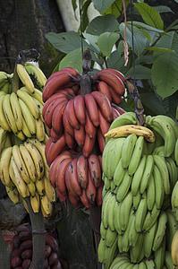 banana, costa rica, tropical, fruit, green, red, food