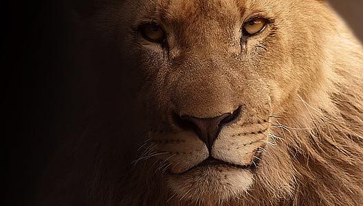 Лъв, Портрет, животински портрет, лицето, диво животно, опасни, животински свят