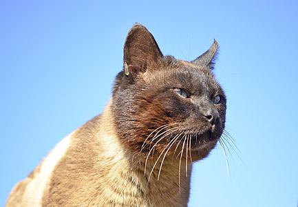シャム猫, 猫, 青い目, ペット, かわいい, シャム, 猫