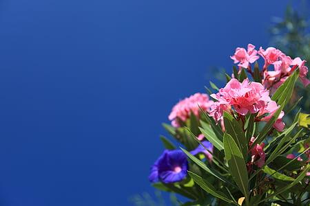 oleandr, pozadí, Krásné, Bloom, květ, modrá, světlé