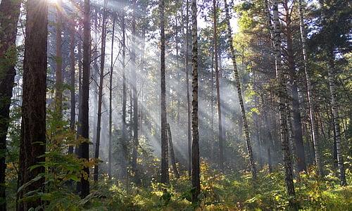 Licht, Wald, die Strahlen der Sonne, Strahlen, Tag, Morgen