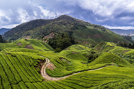malaysia, tea plantation, travel, cameron highlands, tea fields, green, landscape