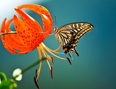 пеперуда, цветя, лястовича опашка, насекоми, природата, Пролет, планински цветя