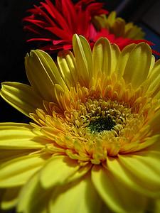 lill, kollane, punane, kroonlehed, kollane süda, mustal taustal, Flora