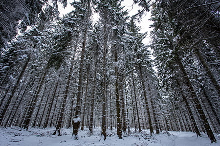 winter forest, snow, wintry, winter, winter magic