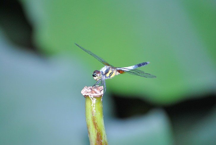 Dragonfly, Lotus blad, macro, insect, eigenschappen