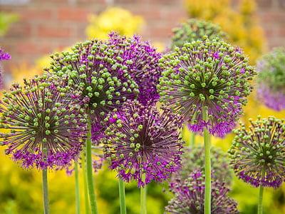 blossom, blooming, violet, spring, nature, spring flower, flower