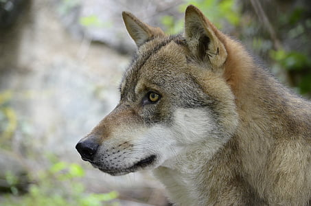 wolf, wolf face, wild animal, dangerous, snout, animal, fluffy