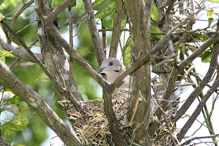 bird's nest, dove, pigeon, nest, bird, breeding, nature