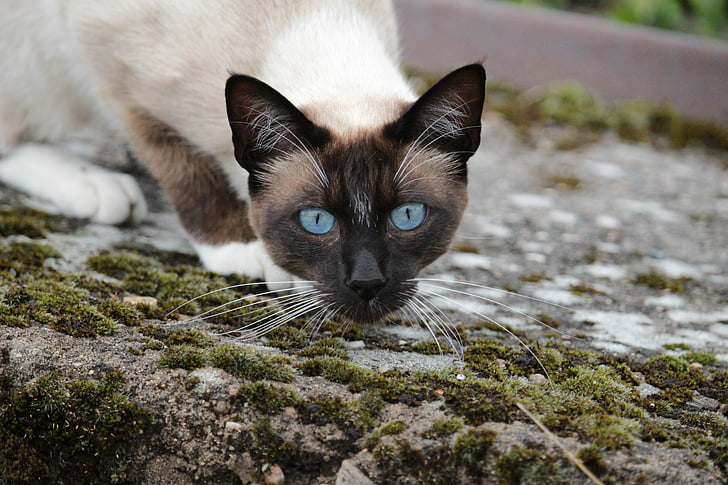 cat, siamese cat, cat's eyes