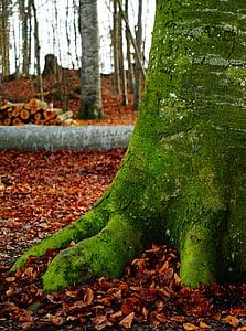 οξιά, δάσος, Φθινοπωρινό δάσος, δέντρα, το φθινόπωρο, φύση, στελέχη