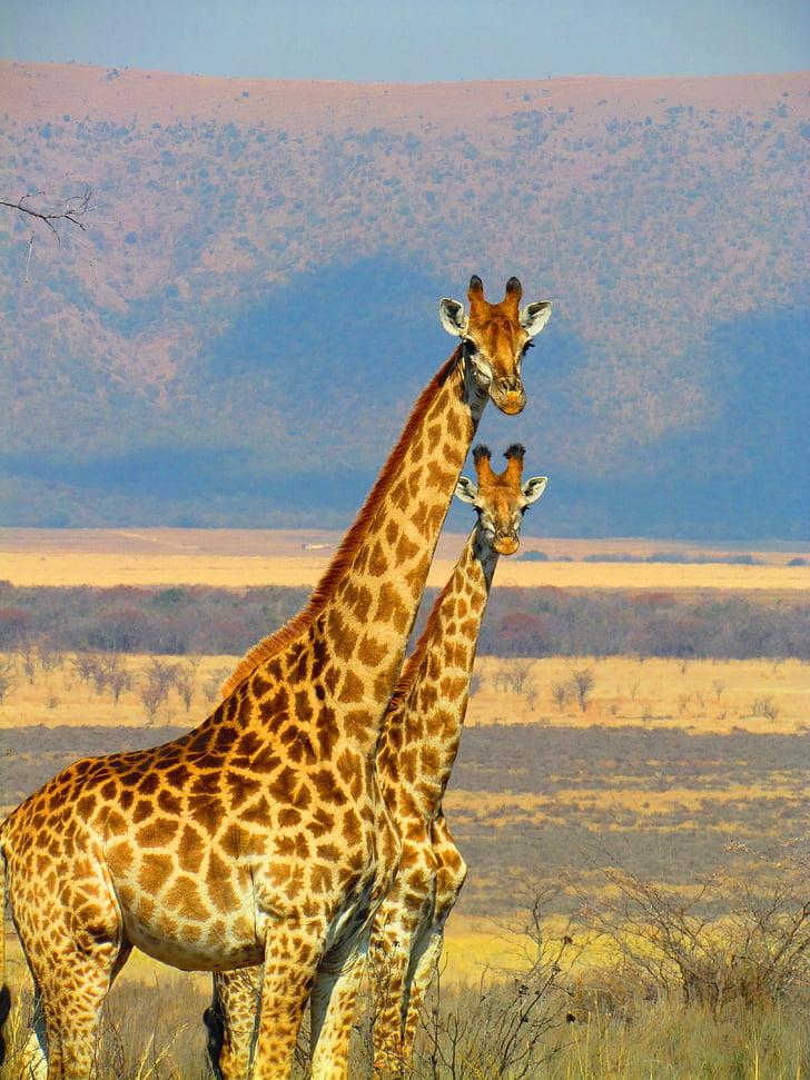 giraffes, south africa, safari, africa, nature, wildlife, animal