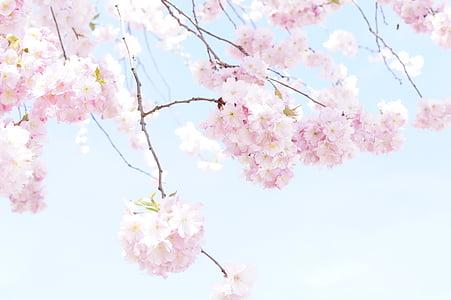 arbre, arbre de flor, flor, primavera, Rosa, flor del cirerer, flor