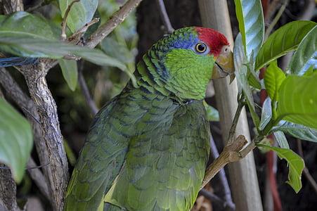 perico, nature, birds, bird, animal, fauna, wings