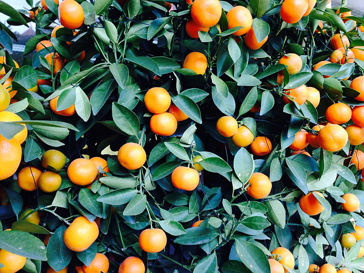 oranges, orange shrub, citrus fruit, fruits, fruit