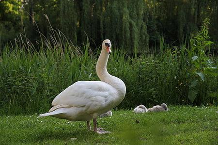 животни, птица, бял лебед с момче, лебед, природата