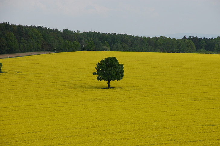 field of rapeseeds, tree, spring, oilseed rape, nature, field, agriculture