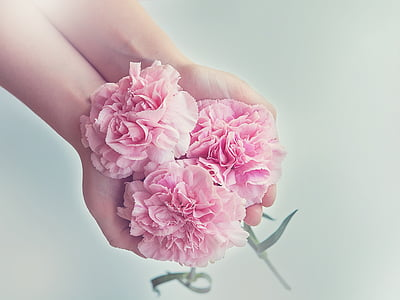 cloves, flowers, pink, carnation pink, three, schnittblume, hands