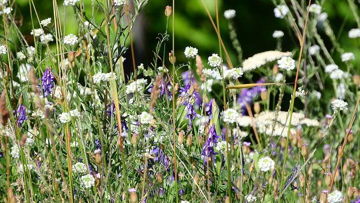 meadow, meadow flowers, flowering meadow
