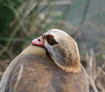 Egyptin hanhi, hanhi, Fowl, ruskeat, buffs, silmälappu, ruskea