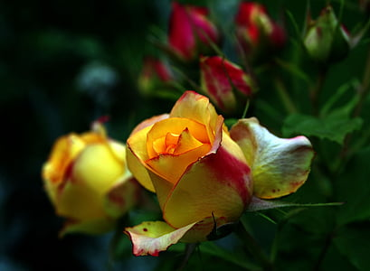 Roosi tee, tõusis, oranž, kollane, roosi kroonlehed, lill, roosa lill