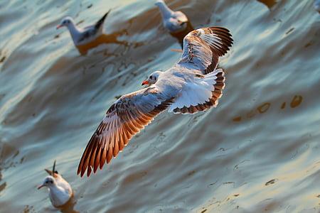 seagull, open wings, beautiful colors, seaside, bird, bang pu, thailand