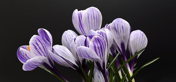 минзухар, цвете, Пролет, природата, Пролетно цвете, Блосъм, Блум