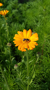 calendula, flowers, orange flower, insect, fly, nature, sun