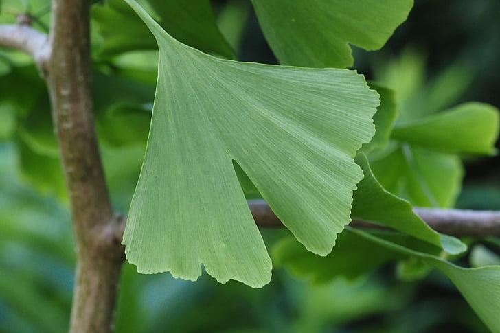 Ginkgo, folha, árvore, planta medicinal, planta, verde