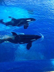 orcas, killer whales, whales, sea world, san diego, marine life