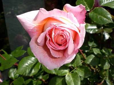 Rosa, Roses, flors, flor rosa, fragància, bellesa, romàntic