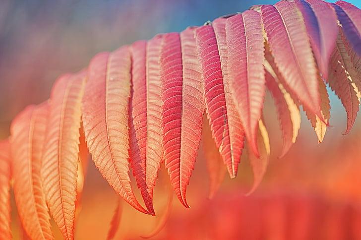 atstāj, augu, rudens, sarkana, daba, rudenī zaļumiem, Leaf