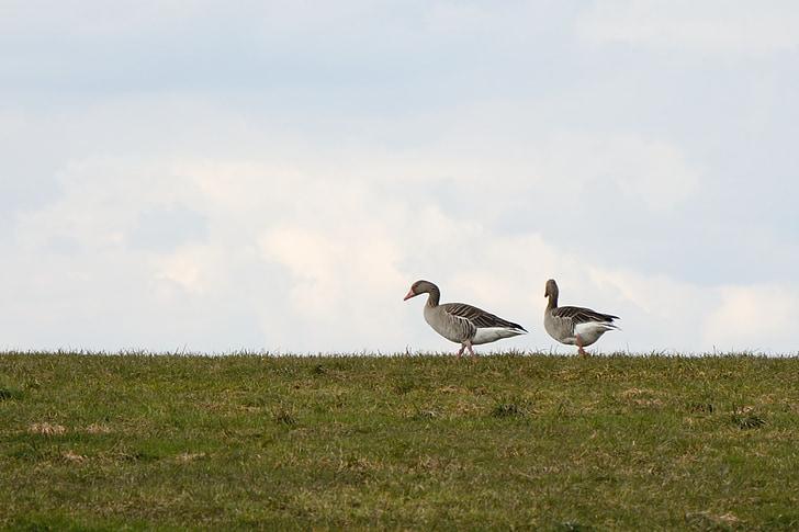 pilkosios žąsys, migruojančių paukščių, Gamta, žąsys, Migruojantys paukščiai, laukinių žąsų, pieva