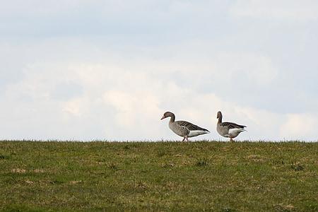 сиви гъски, мигриращи птици, природата, гъски, прелетни птици, диви гъски, ливада