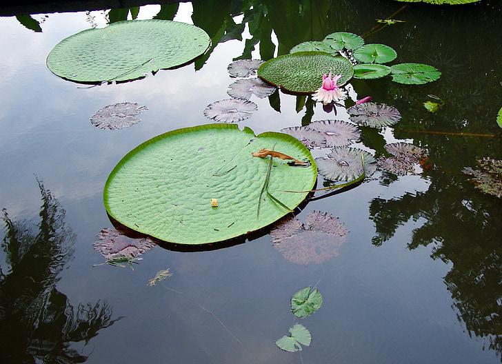 Srí lanka, povodí, Lotus, voda, odrazy, Still waters, Vodní lilie