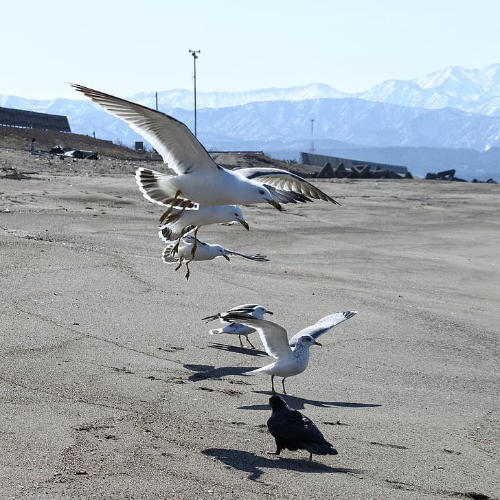 zvíře, pláž, Sea gull, Racek, Mořský pták, divoké zvíře, přírodní